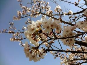 150404_とっこめ桜まつり9