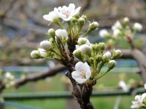 bc_160403_梨の花4